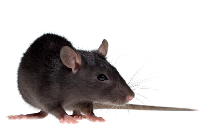 get rid of rats Berkshire