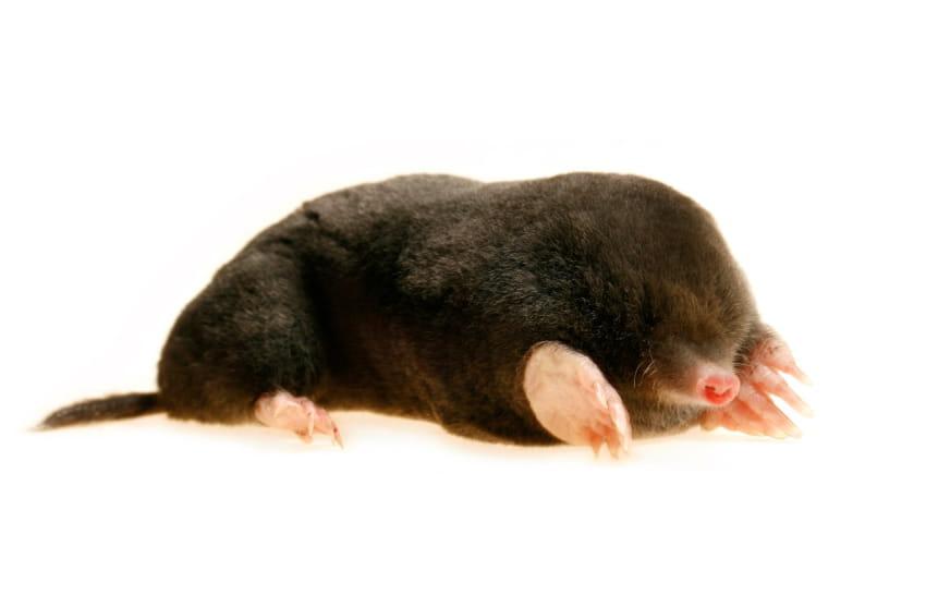 moles destroy Berkshire lawns