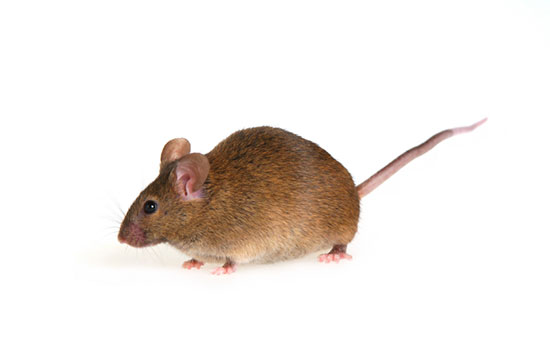 house mice - pest control services