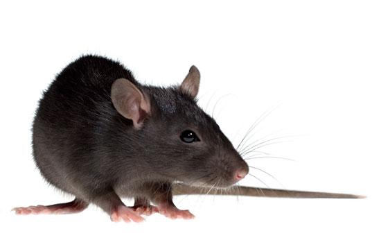 Rats a problem in lofts