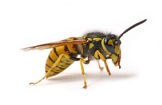 wasp control Reading Berkshire